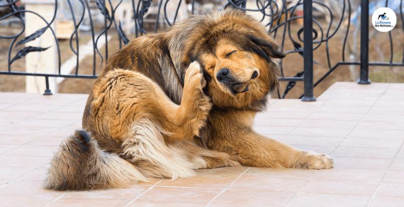 Un chien dérangé par les tiques et les puces